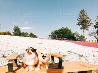 ベンチに座っている犬の写真・画像素材[1135827]
