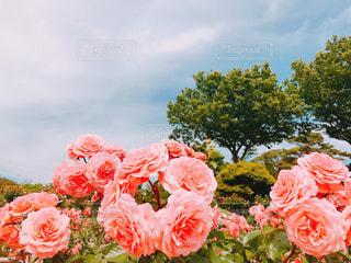 ピンクの花の群しの写真・画像素材[2216594]