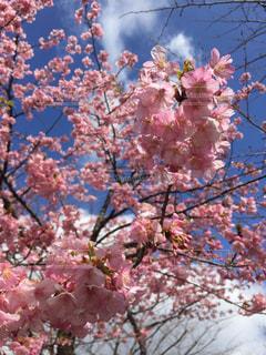 木にピンクの花のグループの写真・画像素材[1030169]