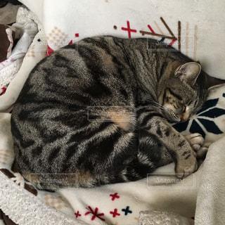 こたつで丸くなっている猫の写真・画像素材[1008265]