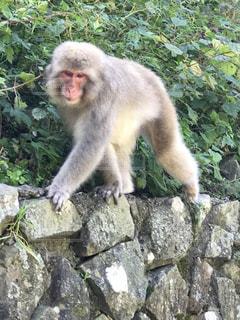 猿の散歩の写真・画像素材[1008671]