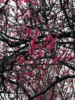 赤梅の写真・画像素材[1023889]