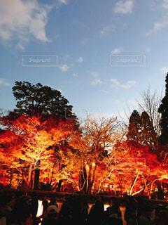 夕暮れの紅葉ライトアップ - No.1009336