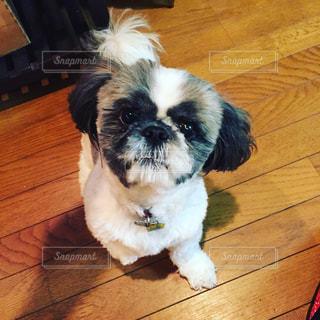 木製の床の上に座って、小さな茶色と白犬 - No.1010855