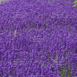 紫色の花の写真・画像素材[1010920]
