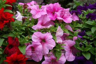 色鮮やかな花の写真・画像素材[1013250]