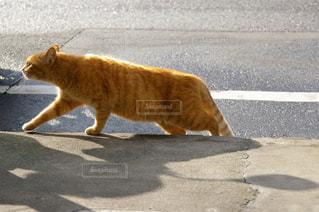 歩く野良猫の写真・画像素材[1013282]