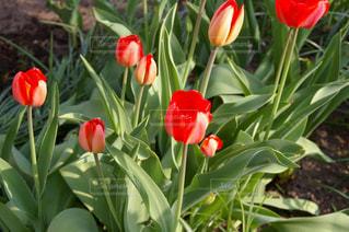 赤いチューリップの写真・画像素材[1013346]