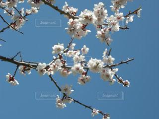梅の花の写真・画像素材[1013350]