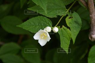 白い小さな花の写真・画像素材[1014639]