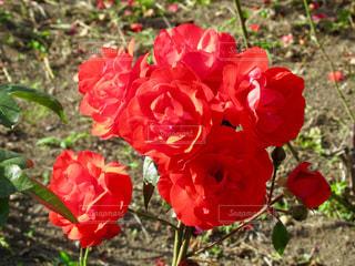 薔薇の写真・画像素材[1015783]