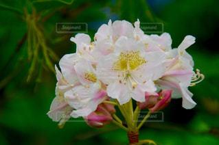 白い花の写真・画像素材[1019586]