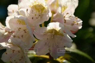白い花の写真・画像素材[1019587]