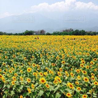 ひまわり畑の写真・画像素材[1009837]