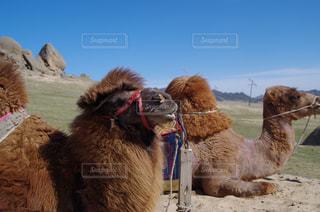 モンゴルラクダの二匹グループの写真・画像素材[1010201]