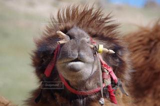 モンゴルのラクダの顔アップ!の写真・画像素材[1010202]