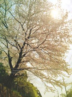 桜 - No.1010321