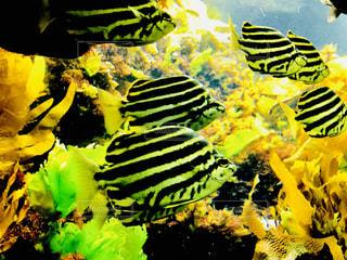 幸せの黄色い魚たちの写真・画像素材[1014498]