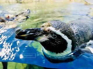 ペンギン - No.1014520