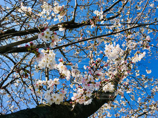 桜 - No.1082098