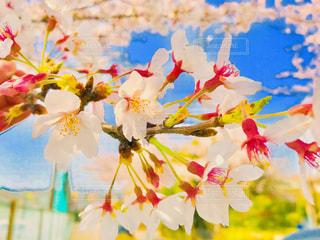 近所の桜 - No.1109421