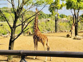 動物園のエンクロージャのキリン - No.1116782