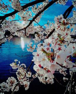 鮮やかに咲く桜の写真・画像素材[1010112]