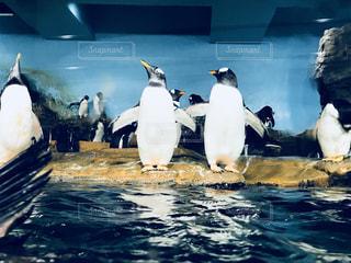 仲良しなペンギンの写真・画像素材[1010643]