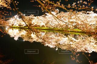 水面下の桜の写真・画像素材[1142462]