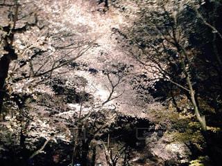 夜桜 - No.1010816