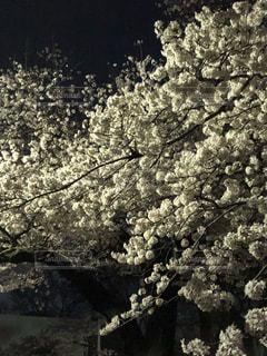 夜桜アップの写真・画像素材[1118381]