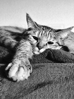 横になっている猫の写真・画像素材[1017548]
