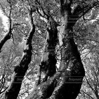 モノクロ写真、大木モノクロ写真の写真・画像素材[1011150]