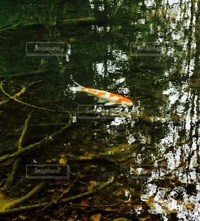 池の中の錦鯉の写真・画像素材[1011197]