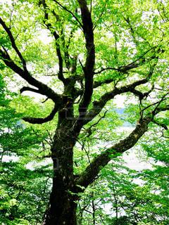 逆光の大木の写真・画像素材[1011310]