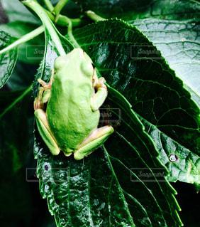 植物の緑のカエル - No.1011315