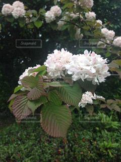 ピンクのお花の写真・画像素材[1023715]