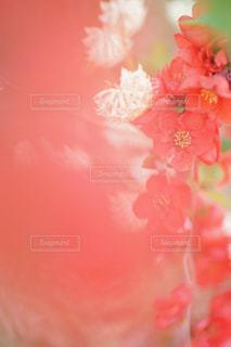 赤いボケの花の写真・画像素材[1102439]