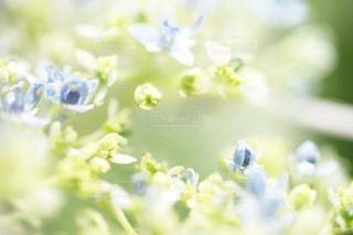 紫陽花の小人の写真・画像素材[2243665]
