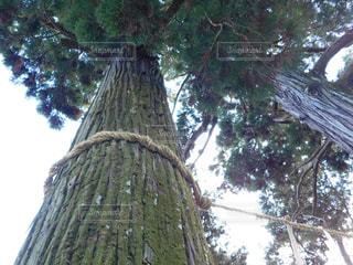 神社の樹木の写真・画像素材[1011516]