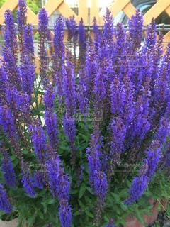 紫の花。の写真・画像素材[1015409]