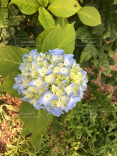 アジサイの花 - No.1020224