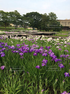 大きな紫色 - No.1022967