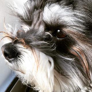 イケメン犬クゥ🐕🐶🐩の写真・画像素材[1023071]