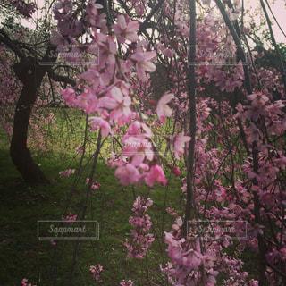 枝垂れ桜🌸の写真・画像素材[1025467]