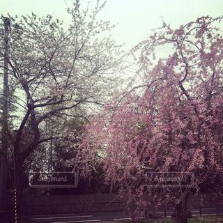 公園の大きな木の写真・画像素材[1111864]