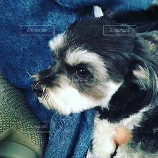 小さな黒い犬の写真・画像素材[1115238]