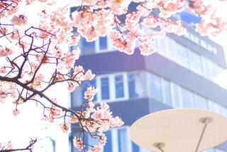 桜と建物 - No.1011849