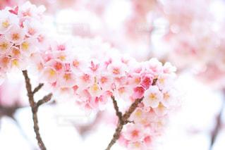 桜 - No.1011850
