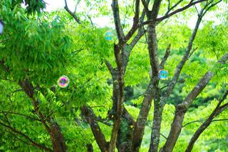 木とシャボン玉の写真・画像素材[1011980]
